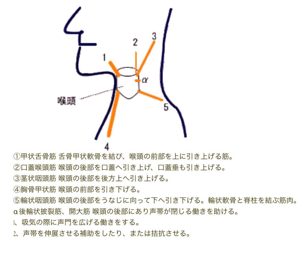 図_喉頭筋