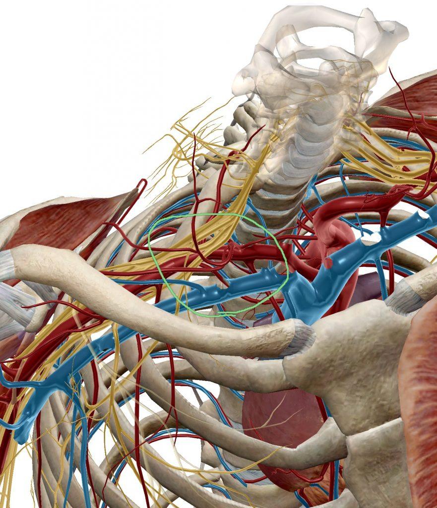 画像_鎖骨周囲血管