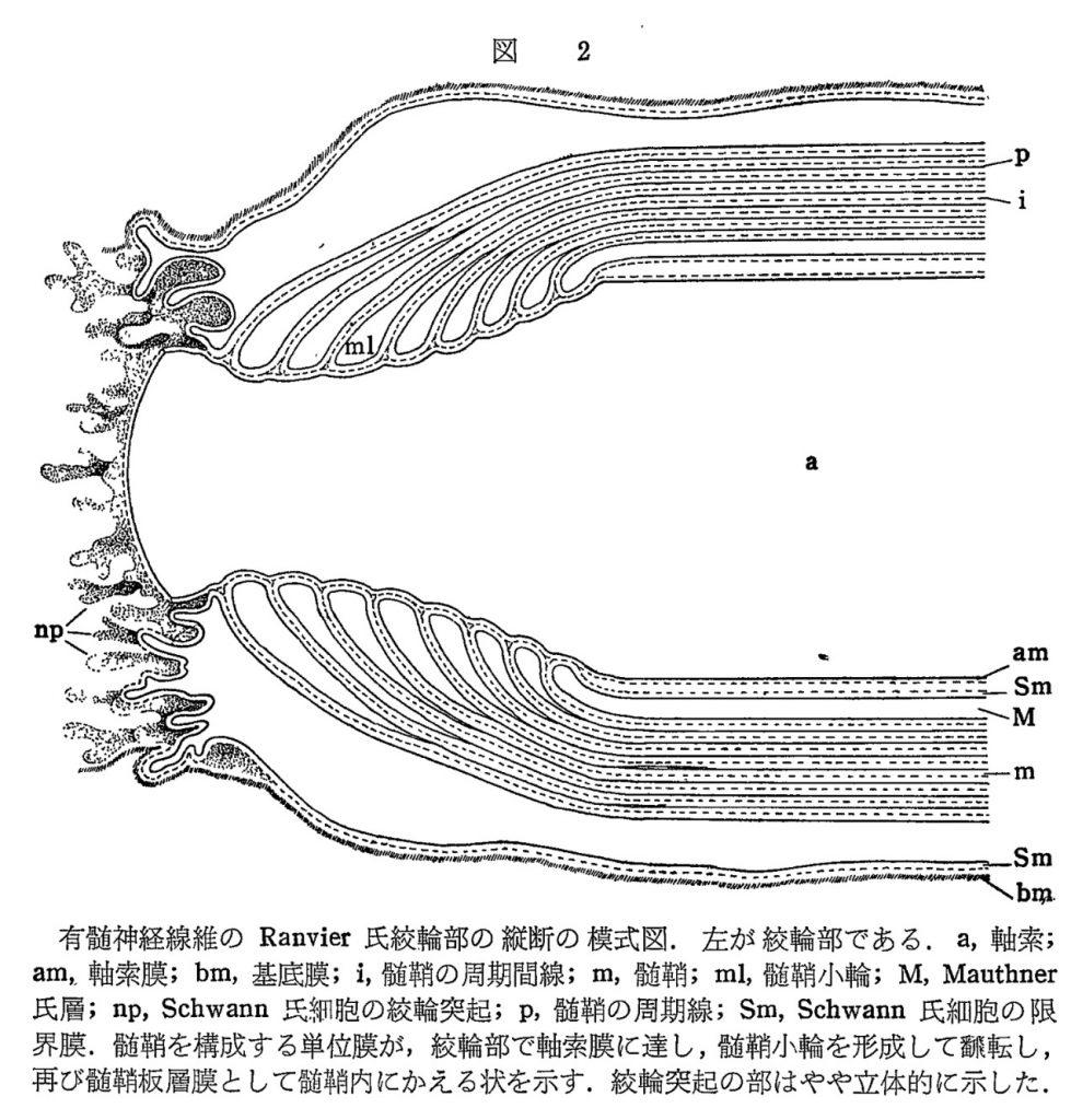 図_有髄神経階層