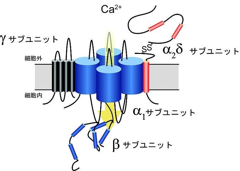 図_カルシウムチャンネル2