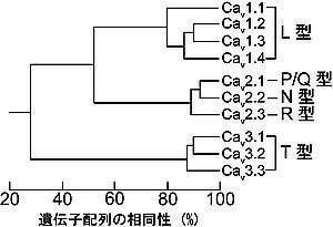 図_カルシウムチャンネル3