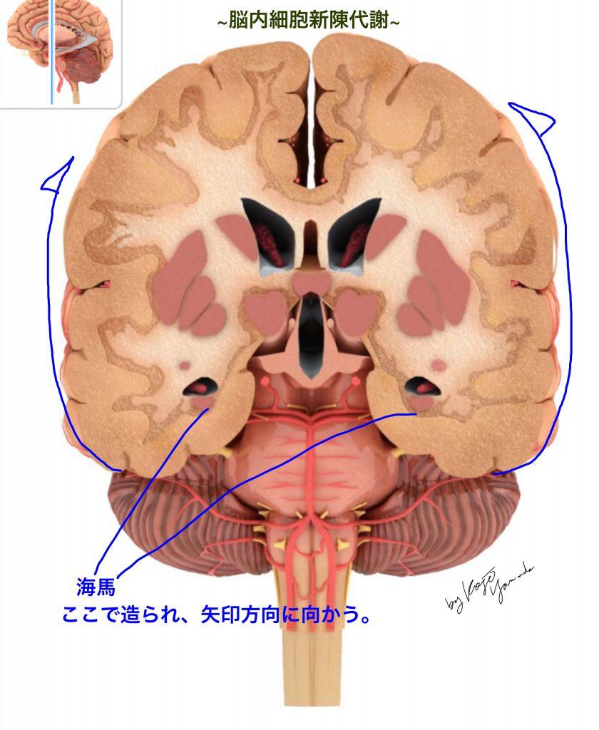 脳内細胞新陳代謝