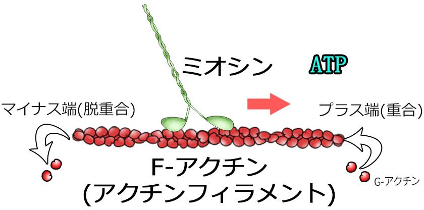ミオシン体内モーター